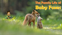 The Family Life of Baby Foxes